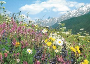 AlpineMeadow
