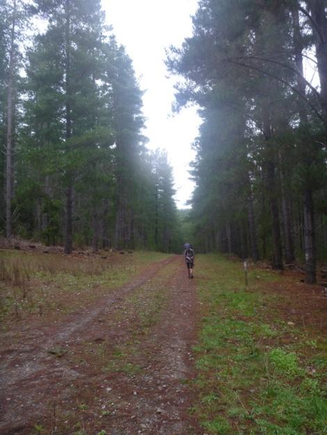 Pine forest management roads