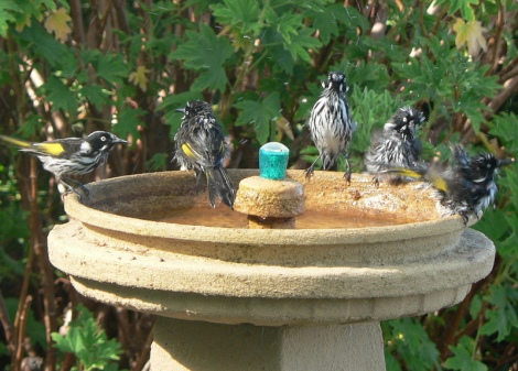 New Holland Honey Eaters at Torbay Guesthouse