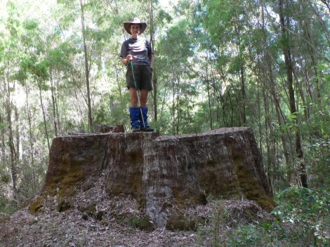 Largest Karri tree - now only a stump