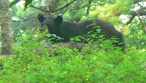 Black Bear watching us go past.